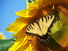 Sunflower with a Swallowtail butterfly