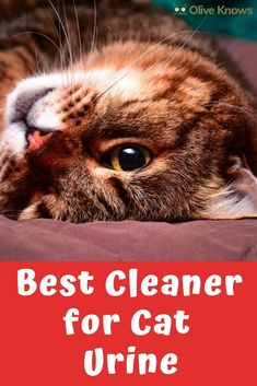 Cats' pee is no fun to clean. Fortunately, there is a best cleaner for cat urine, that will make cleaning the litter bearable again. Cleaning Cat Urine, Cleaning Litter Box, Cat Pee Smell, Pet Odor Eliminator, Cat Insurance, Best Cleaner, Pet Odors, Cat Behavior, Cat Health