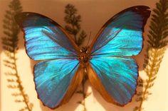 Blue Morpho Pinned