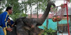 SHUT DOWN PHUKET ZOO, THAILAND. ZOO OF DEATH AND EXTREME CRUELTY! SEND ALL ANIMALS TO SANCTUARIES!!
