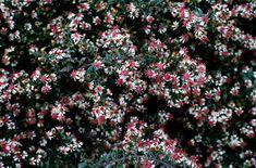 horizontalis AGM / RHS Gardening Carol Klein takes heel cuttings in July Dry Garden, Garden Plants, Late Summer Flowers, Gardening, Planting, Shade Plants, Aster, Cuttings, Color