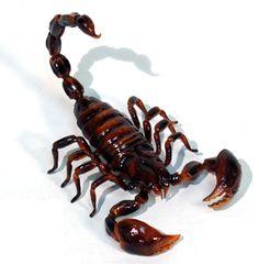 Google Image Result for http://animalmakers.com/Catalog/images/scorpion_1077-01.jpg