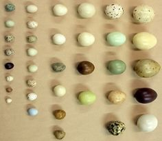Bird egg identification guide and texas birds. Best ideas about bird identification. This image has a resolution and has a size of 0 Bytes Bird Egg Identification, What Is A Bird, Egg Nest, Images Google, All Birds, Animal Sketches, Green Eggs, Chicken Eggs, Bird Feathers