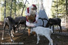 Santa Claus taking care of his young reindeer in Lapland