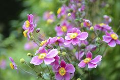 Filling In The Late Summer Color Gap With Windflower or Japanese anemone (Anemone japonica) - a China native cultivated in Japan | Grow best in part shade and well-drained, moist soil | 2-4' tall with single/double flowers ranging from white to deep rose, depending on the cultivar