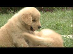 Puppy Golden Retrievers Play Fight - http://www.ruffingtonpost.com/puppy-golden-retrievers-play-fight/