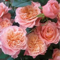 """本日の薔薇""""  ^^  せん[Sen] 日本 Rose Farm keiji作 2013年  幾重にも重なるロゼット咲き。やや抱えるようにきりっと咲き出す花は、華やかさに可愛らしさが見え隠れ。咲きはじめはアプリッコットにサ-モンピンク、その後はやさしいピンク色をおびてロマンチックな花色へと変わってゆきます。朝晩の気温差がある季節では、花びらの縁をマゼンダ色もあらわれて、思わずため息が出るほど艶のある美しい姿を見せます。1花で2週間以上咲き続けるほど、花持ちにすぐれます。   花径:8~10cm 樹高:1.0m 花季:四季咲き その他:香⇒ほのかな香り  ※京阪園芸ガーデナーズのF&Gロ-ズのバラはこちらから→ http://www.keihan-engei-gardeners.com/fs/keihangn/c/f-grose"""
