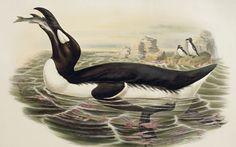 Bird of ill omen: the now extinct great auk Photo: Rex Features
