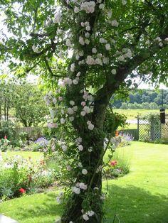 Rosa rosor som klättrat på vårt träd kan vara riktigt coolt, här är dom vita men rosa är nog ännu finare!!