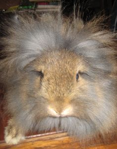 """Moonlight lion head ... this is Why they're called """"Lion Head"""" !"""