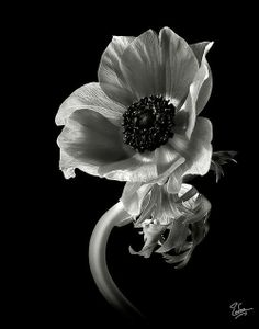 Anemone in black and white. Endre Balogh