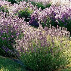 English lavender is the most widely grown type of lavender in North America. Find out why here: http://www.bhg.com/gardening/flowers/perennials/gardeners-guide-to-lavender/?socsrc=bhgpin020915englishlavendar&page=3
