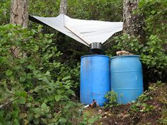 catching rainwater with the help of trees ~ a heavy-duty tarp directs water into a large funnel that feeds into the barrel ~ clever adaptation!