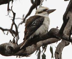 "Kookaburra sits in the ""Ol Gum Tree"""