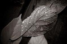 Feuilles et gouttes d'eau sépia Photo D Art, Plant Leaves, Photos, Plants, Leaves, Artists, Fall Season, Water, Pictures