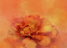 """Marigold Splash"" by Terry Davis #Photography #Abstract #Marigold #Nature #Summer #Flower #Blossom #Floral #Orange #Autumn"