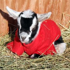 ommmmm Goats In Sweaters, Sheep Pig, Creature Feature, Lambs, Keep Warm, Cattle, Farm Animals, Creatures, Clothes