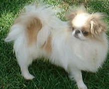Moki is an adoptable Japanese Chin Dog in Spring Valley, CA. Moki is for a purebred, red & white, 3 year old Japanese Chin. He's already been neutered and looks to be in good health. He is housebroken...