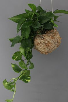 PROPORTION - a moss ball featuring a larger cascading devils ivy (pothos). A different approach to a current trend.