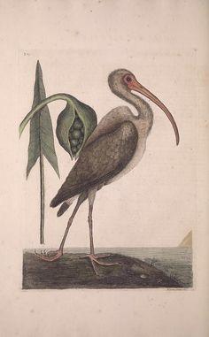 v.1 (1731) [1729-1732] - The natural history of Carolina, Florida and the Bahama Islands : - Biodiversity Heritage Library