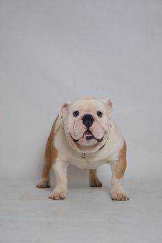 Capo Bulldog vzla