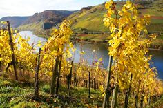 Grape fields in the Mosel region in fall. Germany Travel, Fields, Things To Do, Flora, Fall, Autumn, Places To Visit, City, Wednesday