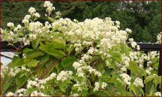 Clematis virginiana on a fence. A native substitute for the sometimes invasive Asian sweet autumn clematis. Very vigorous; if you want to keep it smaller, cut back sharply in early spring. z. 4-9