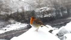 A robin in the snow, County Durham 2015.