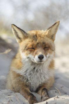 Fox on the Beach by ~AngelaLouwe