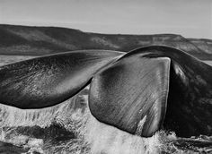 The #fin of a southern right #whale lifts out of the water in #Argentina's Valdés Peninsula in 2004. #Salgado #bw
