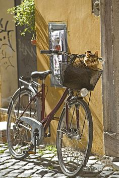 Go For A Ride Day falls on November every year. While the holiday has traditionally been about encouraging humans to get on their bicycles and explore the world, a number of select fearless felines have also proven adept at cruising around. Bicycle Basket, Bicycle Art, Bike, Tierischer Humor, Bicycle Pictures, Cat Basket, Vintage Bicycles, Cute Cats, Funny Cats