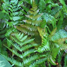 Autumn fern - Green in summer, copper in the fall.