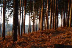The Bourne Woods, Farnham at Dawn