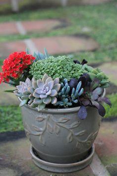 Succulent Plant  Echeveria minima by SucculentOasis on Etsy, $4.99