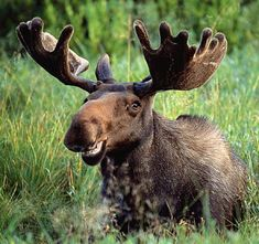 moose! my all time favorite animal! this photo has been my desktop wallpaper for years! Yes he is smiling!