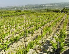 Wine Vine, Heraklion, Crete Greece, Wineries, Wine Country, Old World, Vines, Vineyard, Island