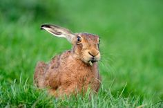 Brown Hare by Laurie Campbell Scottish Animals, Rabbit Photos, Barn Animals, British Things, March Hare, Vertebrates, Animals Of The World, Chipmunks, Christian Faith