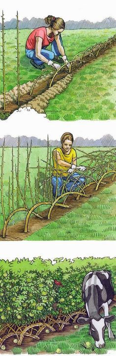 Build a living fence — use berry canes such as raspberries for a fence that produces food.