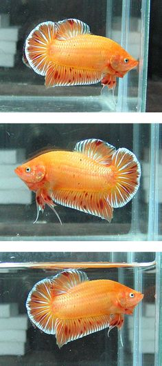 Some interesting betta fish facts. Betta fish are small fresh water fish that are part of the Osphronemidae family. Betta fish come in about 65 species too! Betta Fish Types, Betta Fish Tank, Beta Fish, Pretty Fish, Beautiful Fish, Freshwater Aquarium, Aquarium Fish, Aquarium Setup, Aquarium Ideas