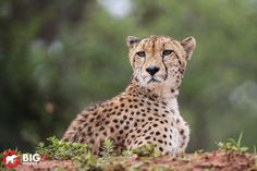 """""""Kalahari"""", a cheetah at Zimanga which was named after the area from which he came.   Canon 5dMk3 with EF 200-400 IS Lens. 1/1000 sec, f/5.6, ISO 800, +0.7 step.  Learn how to take better wildlife images! We offer photographic courses and workshops."""