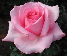 then stay a little. Beautiful Rose Flowers, Romantic Roses, Love Rose, Silk Flowers, Purple Roses, White Roses, Pink White, Rose Reference, Realistic Rose