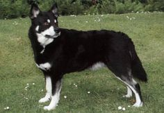 Lapponian Herder dog photo | Lapponian Herder (raza de apariencia lobuna no muy grande) http://dog ...