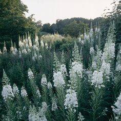 Wilgenroosje (Chamerion angustifolium 'Album') verwilderd op Brockhampton Cottages (Ontwerp: Tom Stuart-Smith)