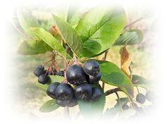 Arónia čierna = Jarabina čierna vysoko efektívna pre štítnu žľazu Fruit, Food, Medicine, Eten, Meals, Diet
