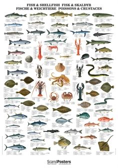 Large poster that illustrates 74 commercially important fish and shellfish species of the Atlantic. Beautiful Fish, Animals Beautiful, Fish Chart, Shark Painting, Fish Pond Gardens, Species Of Sharks, Rare Fish, Giant Fish, Vida Natural