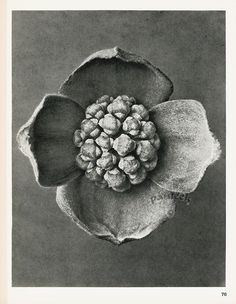 from Karl Blossfeldt Antique Photography Prints Karl Blossfeldt, Dogwood Flowers, Parts Of A Plant, Nature Plants, Natural Forms, Abstract Photography, Botanical Prints, Trees To Plant, Black And White Photography