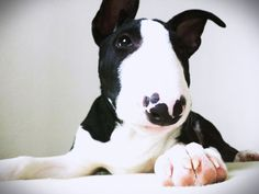 https://flic.kr/p/ng29sK | #bullterrier #puppy #dog #bull #terrier #bulterrier #crops #bignose