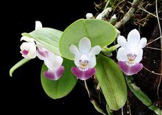 phalaenopsis lueddemanniana   Flickr: The Phalaenopsis species and primary hybrids Pool