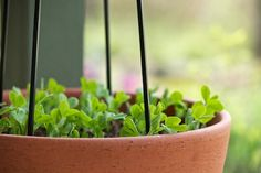 This looks like a good ideas for peas. I have a large plastic pot. I'm going to clean it out to make sure there aren't any slug babies waiting around, fill it with good soil, put in some stakes and start my peas. Posted on Chiot's Run.