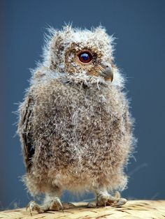 sunda scops owlet...  photo by irawan_subingar
